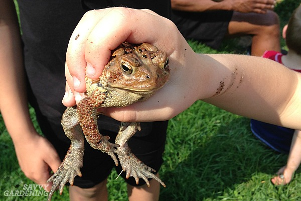 Wildlife gardening for toads and other animals.