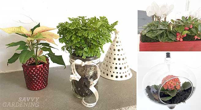 Mini holiday houseplants
