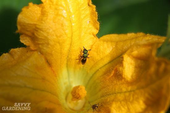 Zucchini pollination problems.