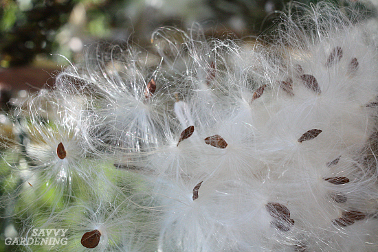 How to start milkweed plants from seed