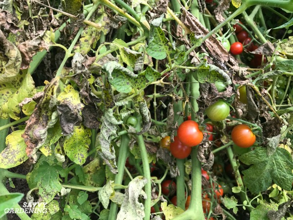 Prevention is key when it comes to tomato diseases.