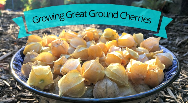 Ground cherries are easy to grow and produce a bounty of sweet marble-sized berries.