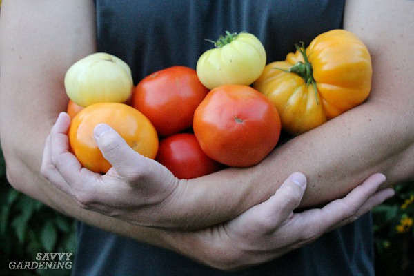 Preventing tomato disease requires a few special steps.