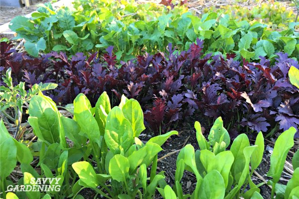 Grow a variety of leafy greens for beautiful homegrown salads.