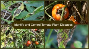 Identify and manage six common tomato plant diseases with these tips.