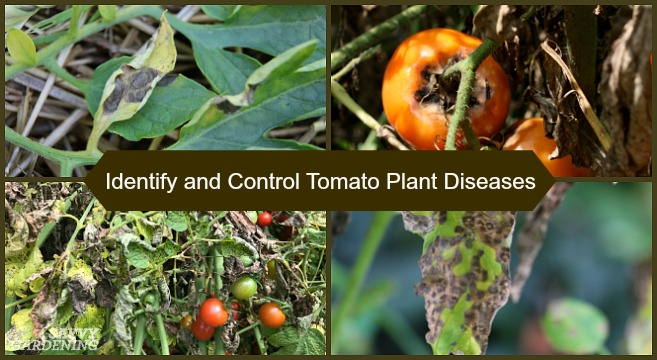 Tomato Plant Disease: How to identify and control tomato diseases