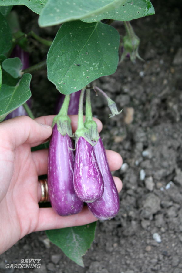 Vegetable Varieties for Container Gardens