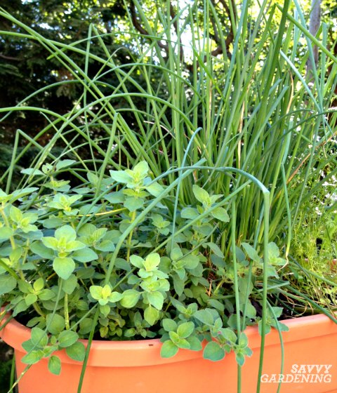 Chives are an easy to grow culinary herb.
