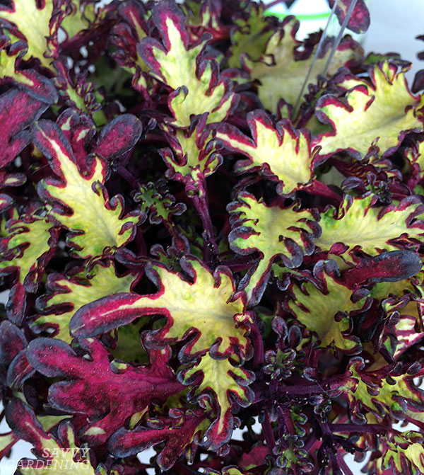 Coleus Under the Sea 'Sea Monkey Rust' features vibrant, frilled maroon and chartreuse leaves.