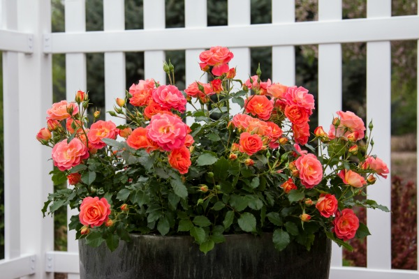 Growing roses in containers is easy when you pick the right varieties. (AD)