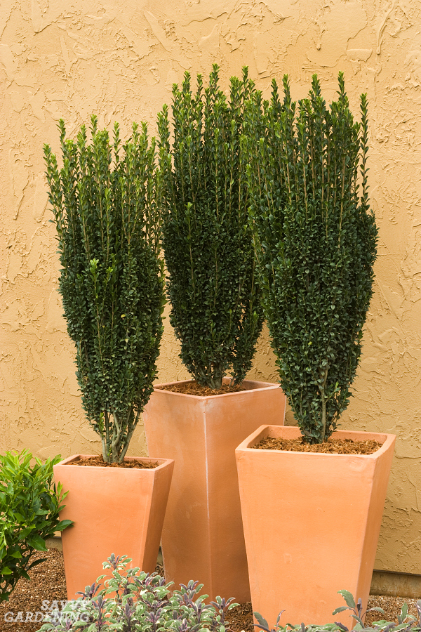 Sky Pencil Hollies Are Great Columnar Plants For Small Gardens.