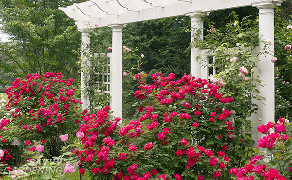 Knock Out Roses are prolific bloomers that will flower from spring through fall. (AD)