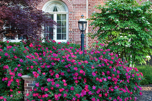 Low-maintenance roses can become a lively focal point and look fabulous in a foundation planting. (AD)