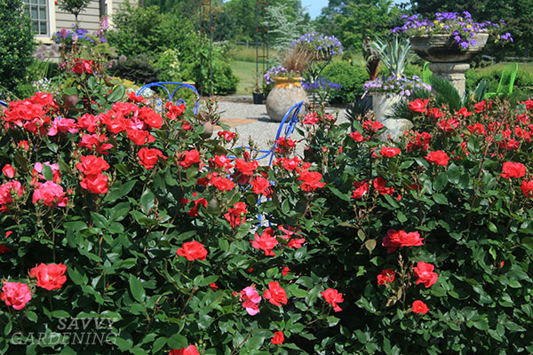 Low-maintenance shrub roses make great hedges—around a patio or along a driveway, for instance. (AD)