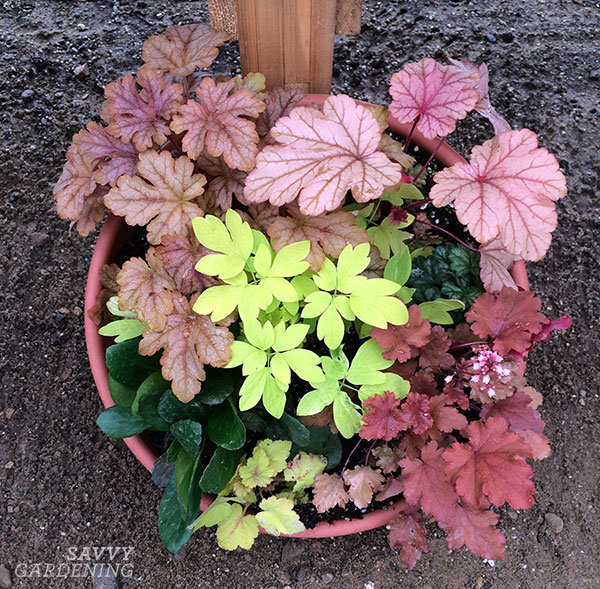 I love this miniature heuchera container combo put together by Terra Nova Nurseries.