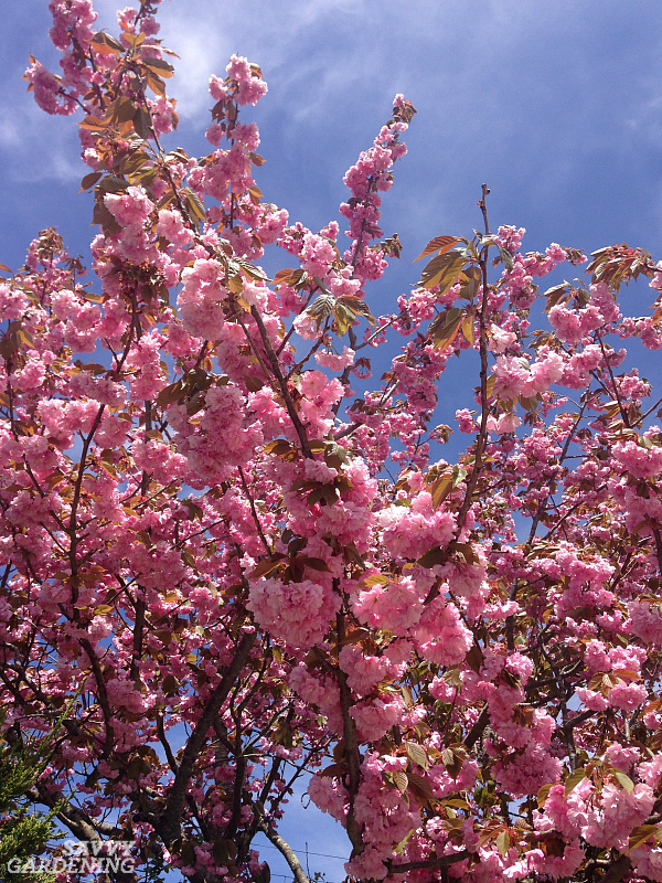 Flowering cherry 'Amanogawa' produces pink flowers in the spring.