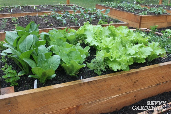 Raised beds are a popular edible garden design for food gardeners.