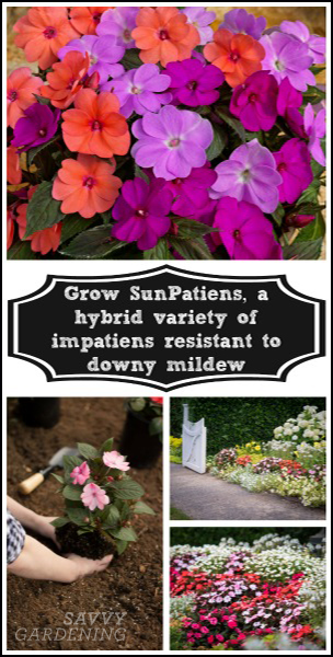 Grow SunPatiens, a hybrid variety of impatiens resistant to impatiens downy mildew. (AD)