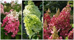 Panicle hydrangeas are fool-proof and beautiful. (Ad)