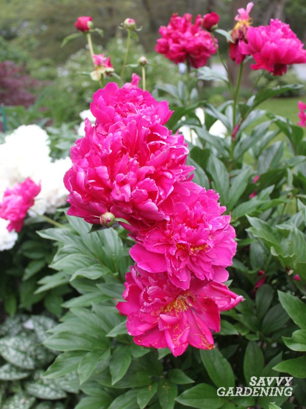 Plant peonies for fragrance and color in a cottage garden.