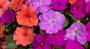 SunPatiens are a hybrid impatiens that's resistant to downy mildew (AD)