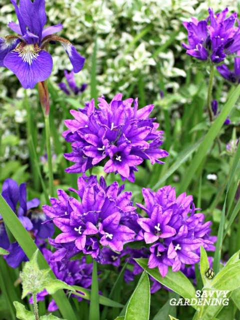 Plant campanulas in a cottage garden for bold summer color.