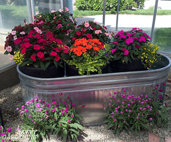 SunPatiens floating in a stock tank (AD)