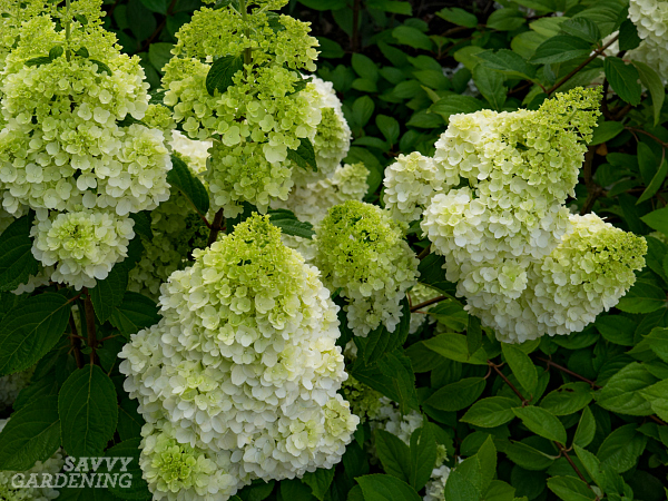 The lime-green flowers of Moonrock™ panicle hydrangea look stunning in beds and borders. (AD)