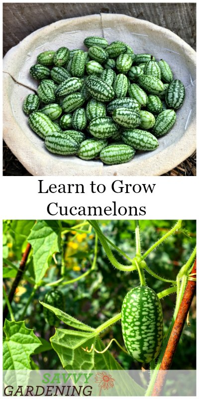 Learn how to grow cucamelons in gardens and containers.