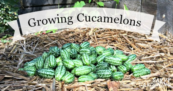 Growing Cucamelons In Gardens And Containers Is Fun And Easy