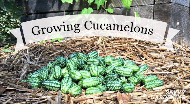 Learn how to grow cucamelons, a quirky vegetable with grape-sized fruits that have a cucumber-citrus flavor.