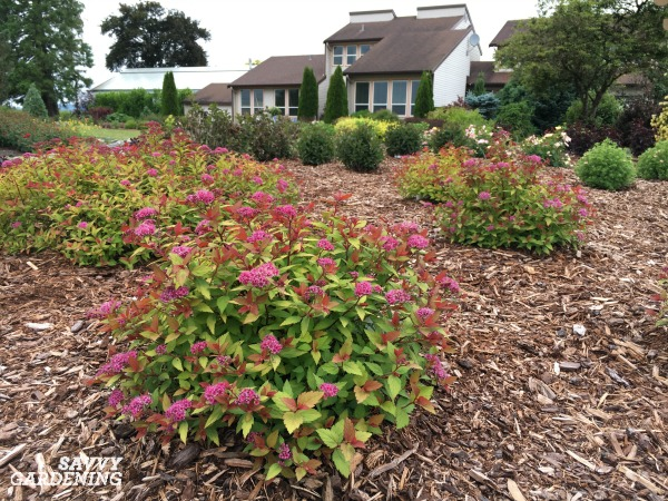 Small flowering shrubs for small landscapes and gardens. (AD)