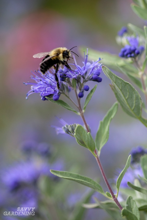 Pollinator-friendly shrubs for your garden. (AD)