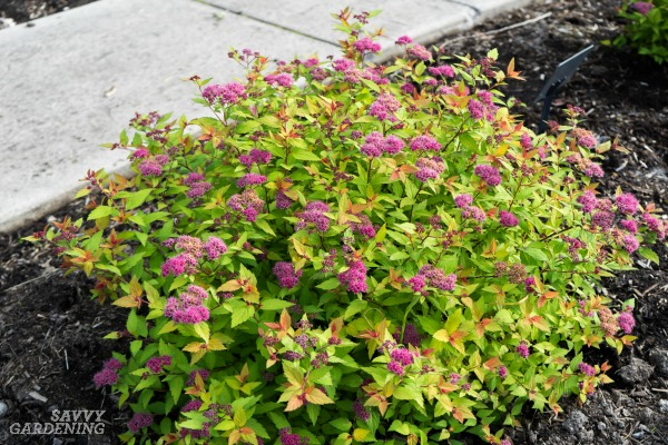 Compact shrubs for small yards and low-maintenance landscapes. (AD)