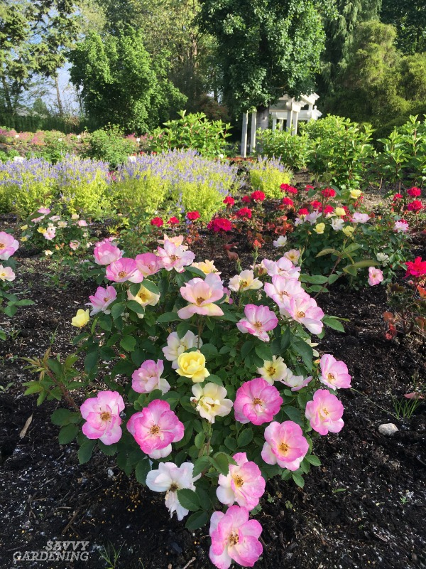 Compact shrubs for small yards include dwarf roses like Peach Lemonade™. (AD)