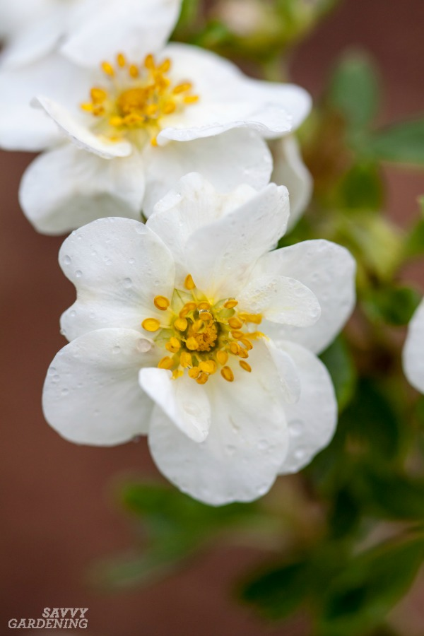 Potentilla is one of several great shrubs for pollinators to include in the garden. (AD)