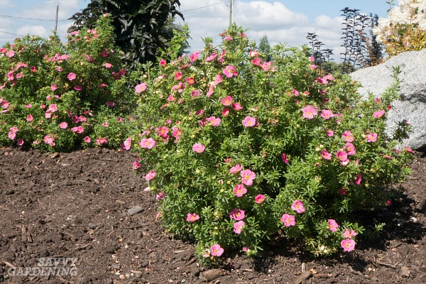 Small-space flowering shrubs for small gardens.