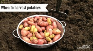 Learn when and how to harvest potatoes