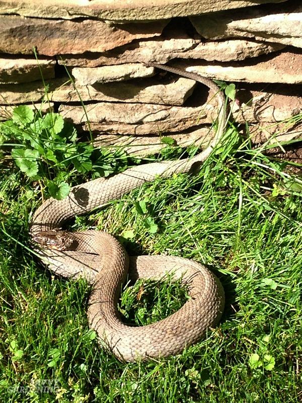 Snakes are great slug control.