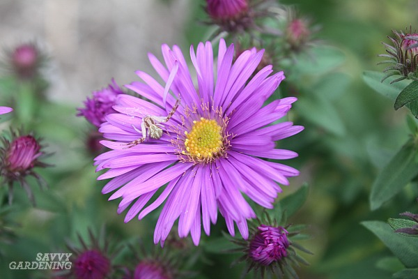 Crab spiders are one type of garden spider.