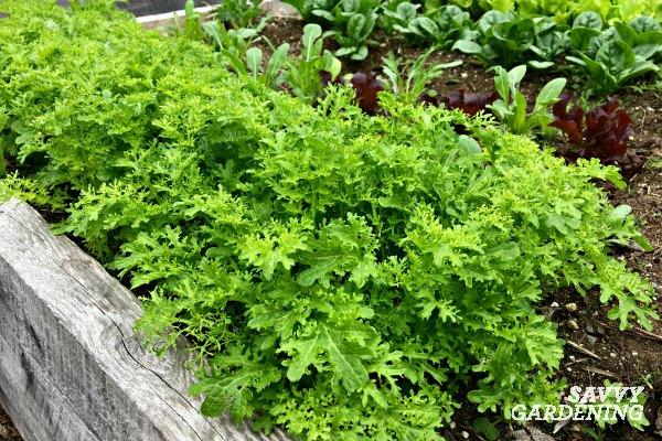 Plant Asian greens like mustard and mizuna in a fall garden.
