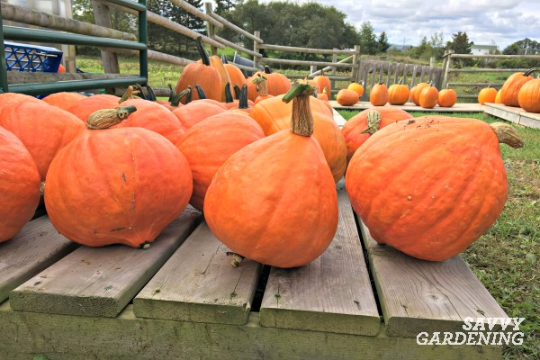 After harvesting winter squash, be sure to cure the fruits in the sun for a week.