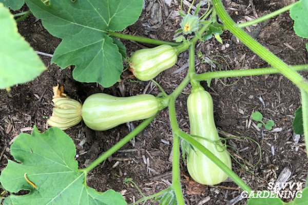 Harvest winter squash at the right time.