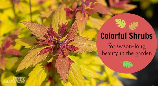 Colorful Shrubs For Season Long Beauty In The Garden