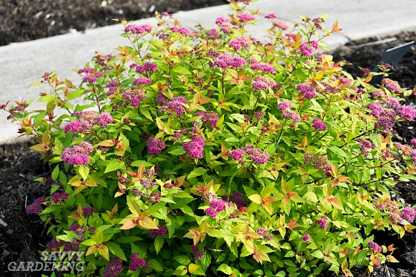 The best shrubs with colorful foliage for your garden.(AD)