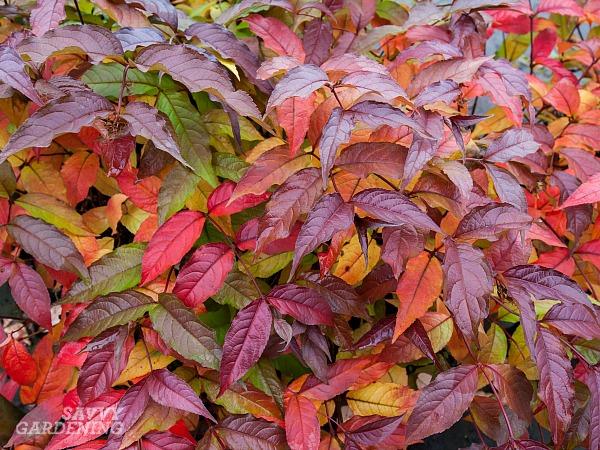 Shrubs with colorful fall foliage.(AD)