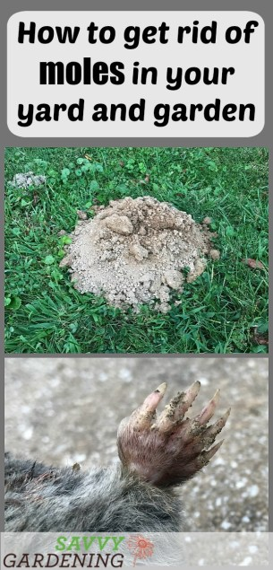 How to get rid of moles in the yard and garden.