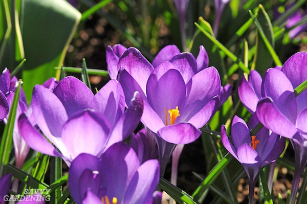 Deer-Resistant Flowering Bulbs for the Spring (AD)