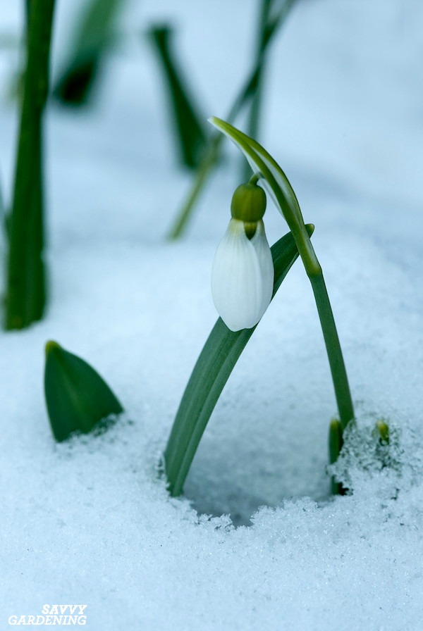 Snowdrops are an early blooming, deer-resistant bulb for your garden. (AD)