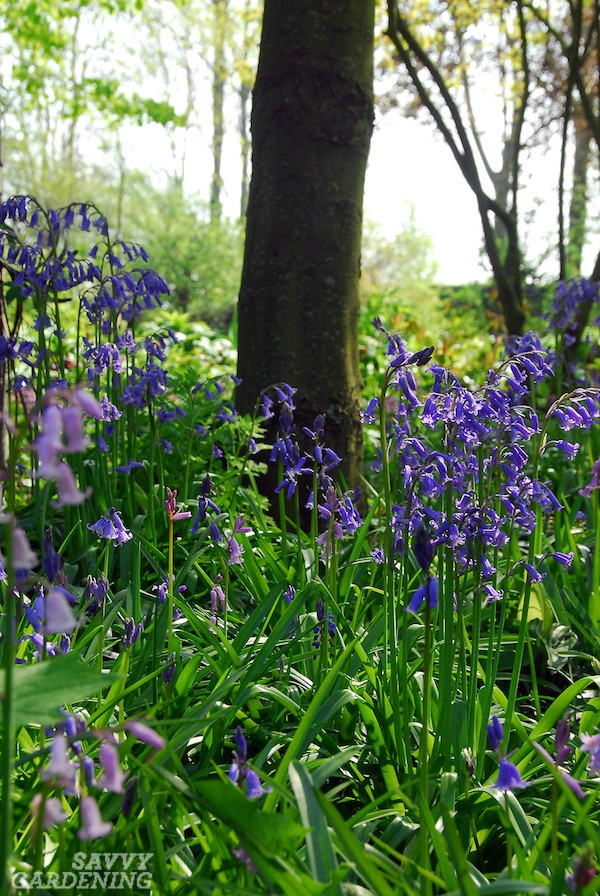 English bluebells for deer-resistant blooms (AD)